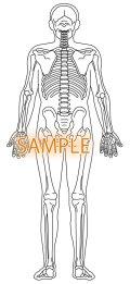骨格図-全身後体型有り