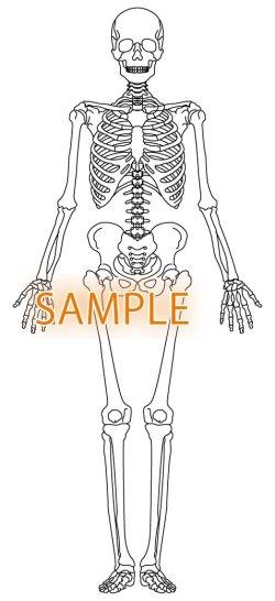 画像1: 骨格図-全身前
